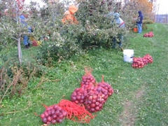 Apple Gleaning - Fall 2009